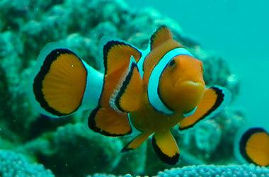 Nemo vissen